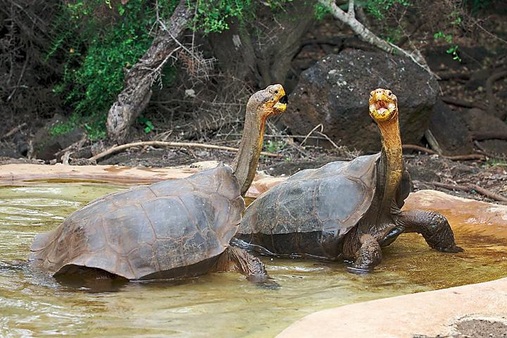 Santa Cruz Island Galapagos tortoises, , Galapagos, Ecuador