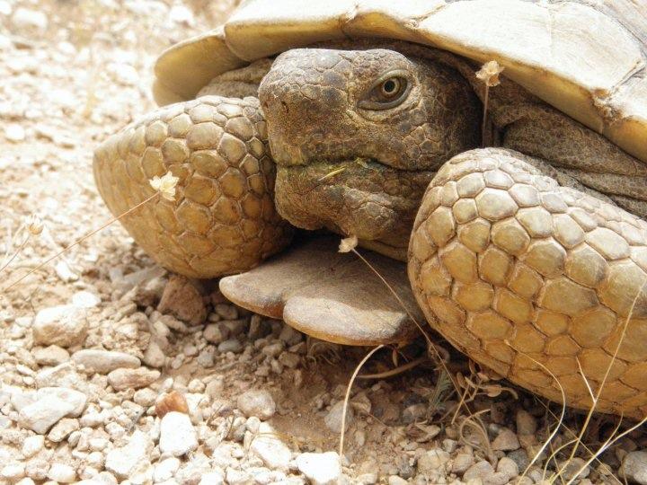 Agassiz's desert tortoise