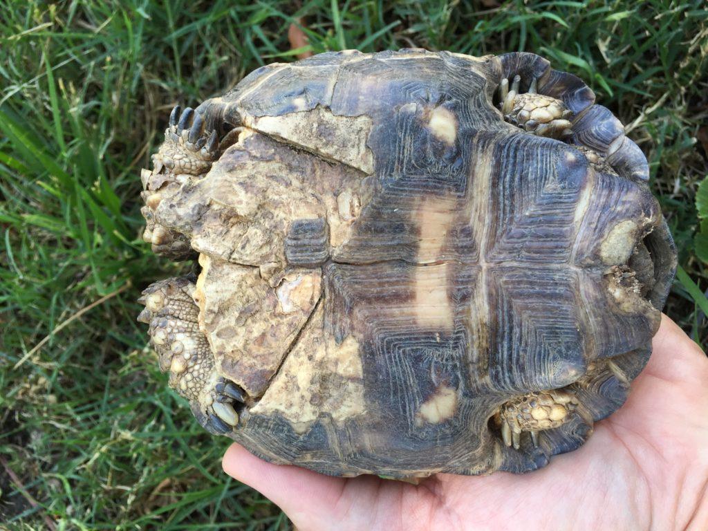 Toby the Tortoise's plastron
