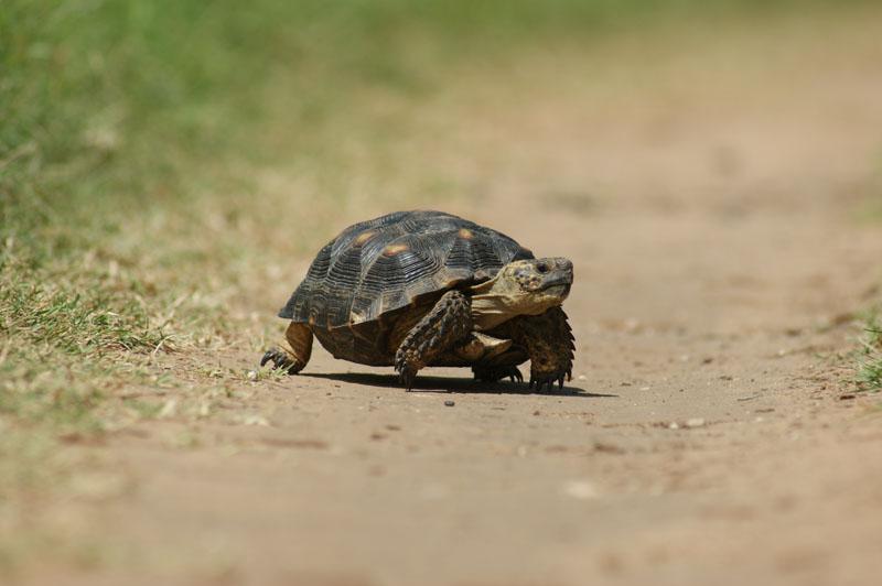 Berlandier's tortoise